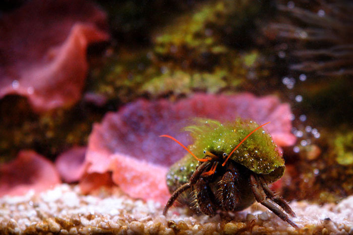 crab, red, green, underwater