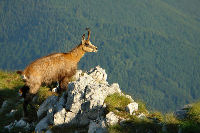 rupicapra rupicapra, mammal, bovidae, caprinae, Piatra Craiului National Park, summer, wildlife