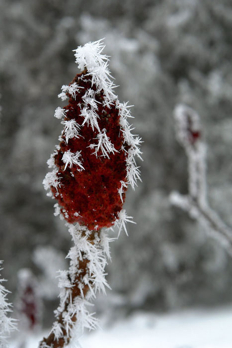 red, winter, frost, plants, flower
