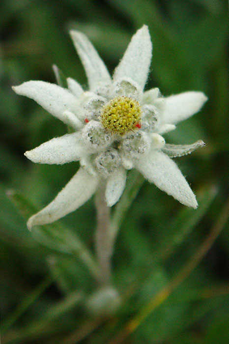 Leontopodium alpinum, white, plants, Leontopodium Alpinum, Ceahlau National Park, flower