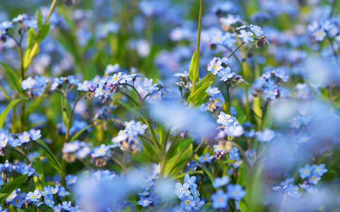 blue, flowers, plants, Kiseleff Park