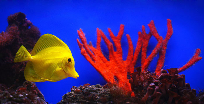 fish, coral, yellow, red, blue, underwater