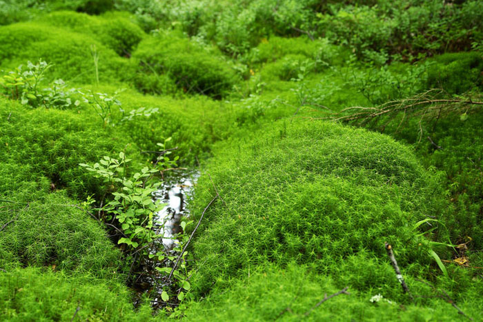 moss, Tinovul Mohos Nature Reserve, green, creek, plants